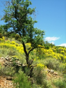 Scotch broom, just like Nantucket