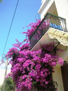 Bouganvillia loves this climate