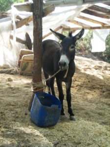 Donkeys rest during the heat of the day. . .