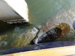 while Manatees appear to be kissing as they come alongside. . .