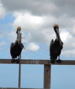 Pelicans seem to guard every bridge. . .
